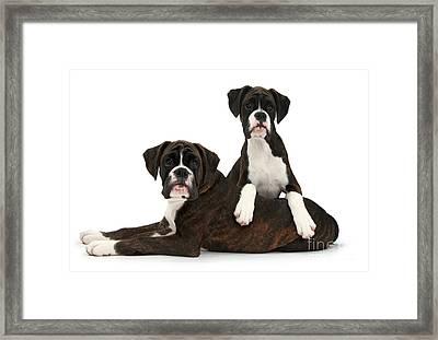 Boxer Pups Framed Print