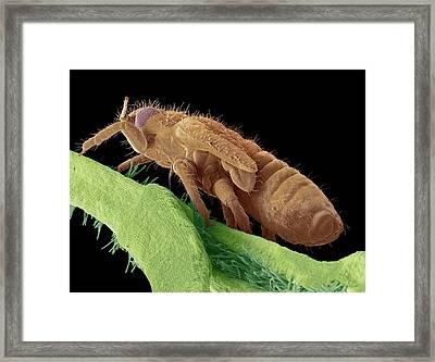 Boxwood Psyllid Larva Framed Print