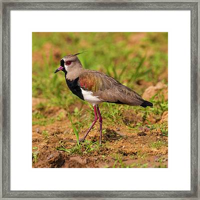 Brazil A Southern Lapwing (vanellus Framed Print