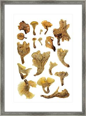 Brazilian Coconut Flower Mushrooms Glow Framed Print by David Liittschwager