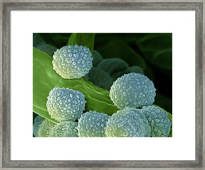 Bread Mould Conidia Framed Print by Ami Images