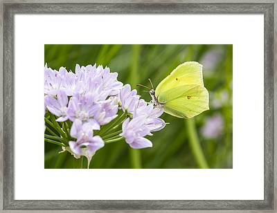 Brimstone Butterfly On A Flower Framed Print by Chris Smith
