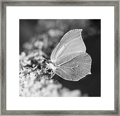 Brimstone Butterfly Framed Print
