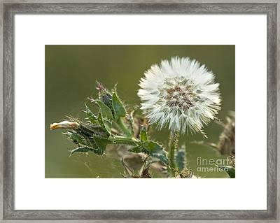 Bristly Ox-tongue Seed Head Framed Print by Bob Gibbons