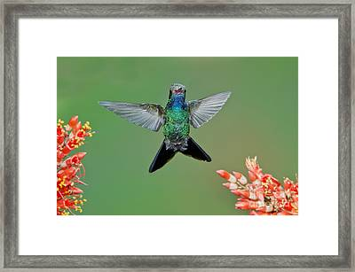 Broad-billed Hummingbird Framed Print by Anthony Mercieca