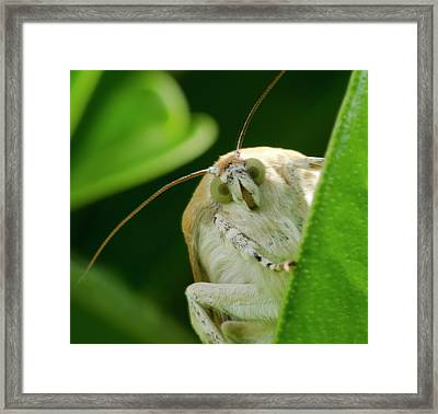 Broad-bordered Yellow Underwing Moth Framed Print by Nigel Downer