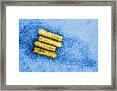Broccoli Necrotic Yellow Virus, Tem Framed Print by Science Source