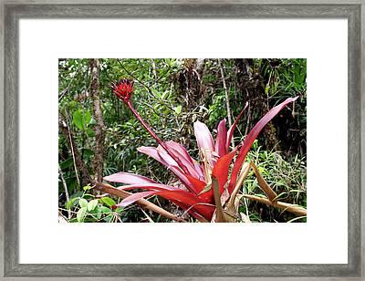 Bromeliad Plant Framed Print
