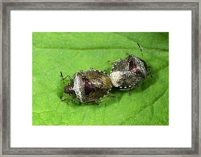 Bronze Shieldbugs Mating Framed Print