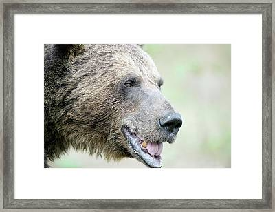 Brown Bear Framed Print by Dr P. Marazzi/science Photo Library