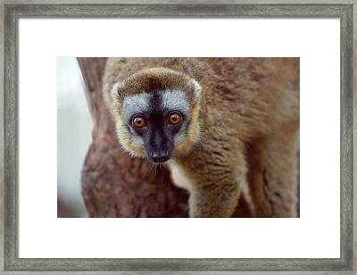 Brown Lemur (eulemur Fulvus Framed Print by Keren Su