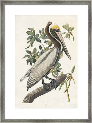 Brown Pelican Framed Print by Celestial Images