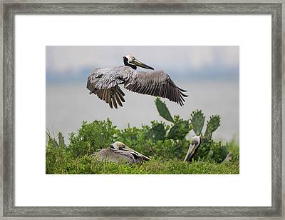 Brown Pelican (pelecanus Occidentalis Framed Print by Larry Ditto