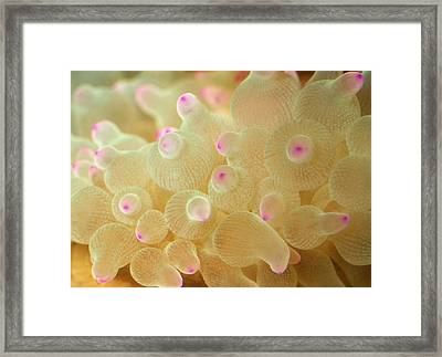 Bubble-tip Anemone Framed Print by Nigel Downer