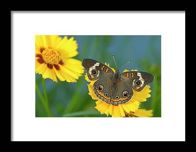 Buckeye Butterfly Framed Prints