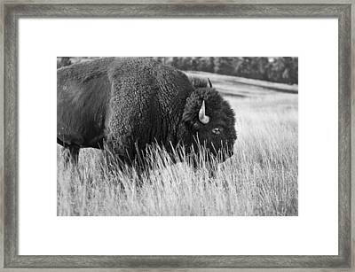 Buff Montana Bw Framed Print by Rich Franco