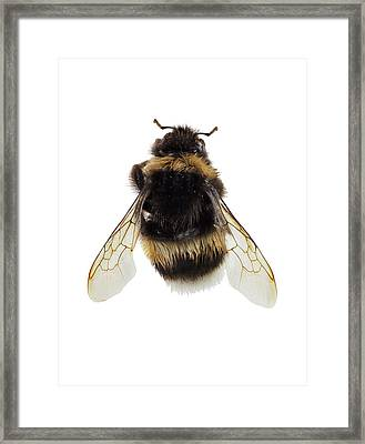 Buff-tailed Bumblebee Framed Print by F. Martinez Clavel