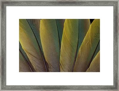 Buffon's Macaw Feather Design Framed Print by Darrell Gulin