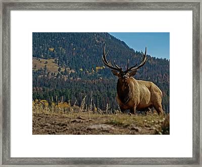 Bull Elk Framed Print by Ernie Echols