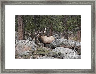 Bull Elk Framed Print by Juli Scalzi