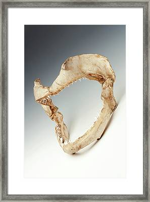 Bull Shark Jaws Framed Print by Ucl, Grant Museum Of Zoology