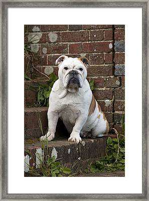 Bulldog On Steps Framed Print by John Daniels