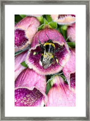 Bumblebee And Foxglove Hybrid Framed Print by Dr. Jeremy Burgess