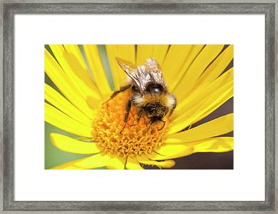 Bumblebee Feeding On Garden Plants Framed Print