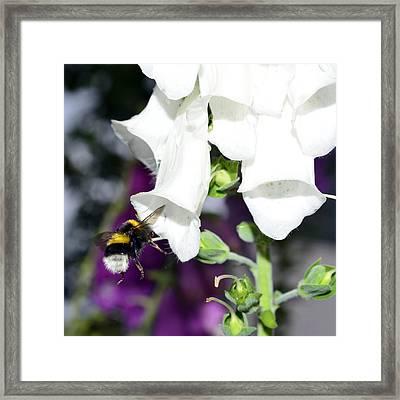 Bumblebee Macro Framed Print