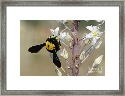 Bumblebee On Sea Squill Flowers Framed Print by PhotoStock-Israel
