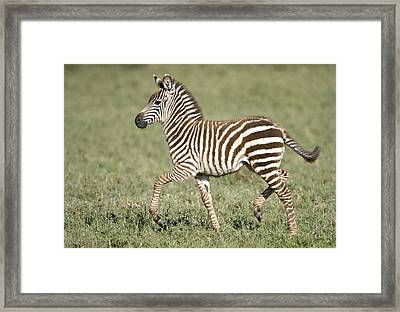 Burchells Zebra Equus Quagga Burchellii Framed Print by Panoramic Images