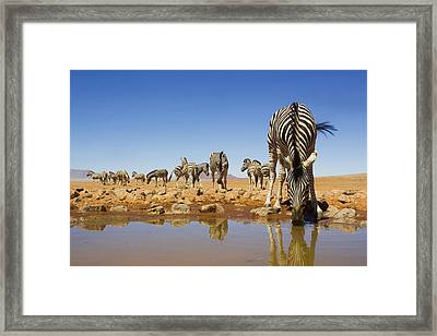 Burchells Zebras At Waterhole Namibrand Framed Print by Theo Allofs