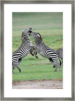 Burchells Zebras Equus Burchelli Framed Print by Panoramic Images