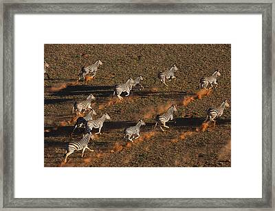 Burchells Zebras Running In Desert Framed Print by Theo Allofs