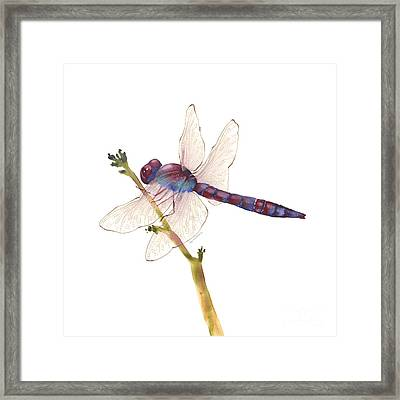 Burgundy Dragonfly  Framed Print