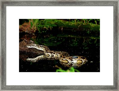 Burmese Python, Python Molurus Framed Print by David Northcott