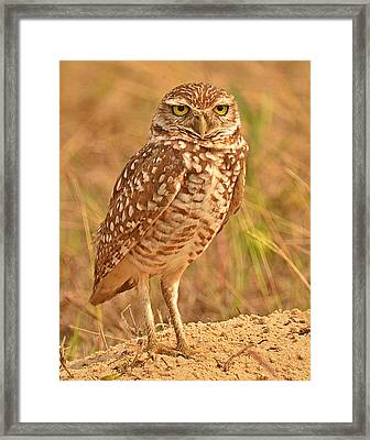 Burrowing Owl Framed Print by Nancy Landry