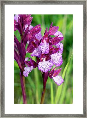 Butterfly Orchids (orchis Papilionacea) Framed Print by Bob Gibbons