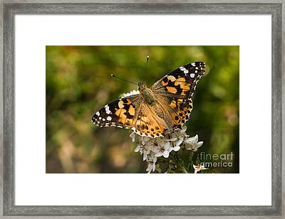 Butterfly Painted Lady On Gooseneck Loosestrife Framed Print