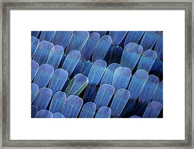 Butterfly Wing Scales Framed Print by Frank Fox