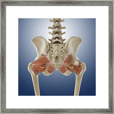 Buttock Muscles, Artwork Framed Print by Science Photo Library