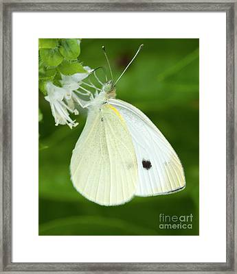 Cabbage White Butterfly Framed Print by Iris Richardson