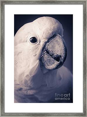 Cacatua Moluccensis - Moluccan Cockatoo Framed Print by Sharon Mau