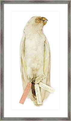 Cacatua Sanguinea Framed Print by Natural History Museum, London