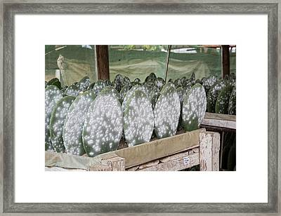 Cacti Farm For Cochineal Insects Framed Print by Jim West