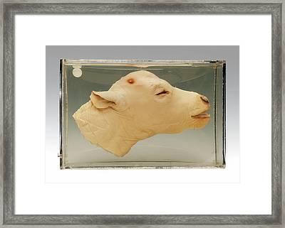 Calf Head Framed Print