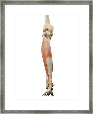 Calf Muscle Framed Print