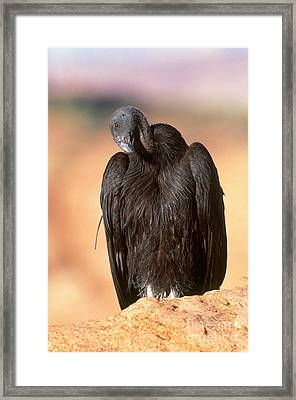 California Condor Framed Print by Art Wolfe