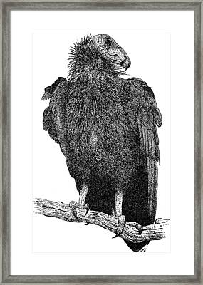California Condor Framed Print by Roger Hall