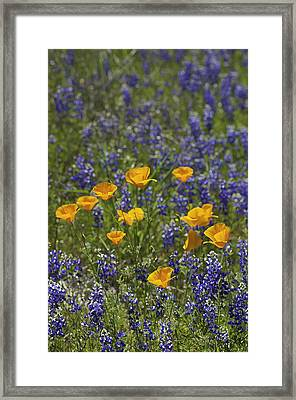 Framed Print featuring the photograph California Poppies And Lupine by Sherri Meyer